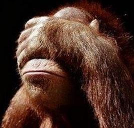 Orangutan face palm