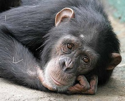 Sad Chimp