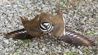 Killdeer bird faking a broken wing