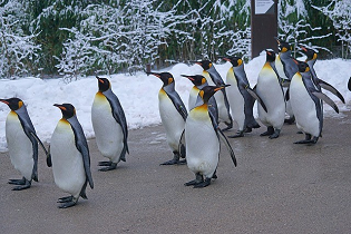 King penguins on dry land looking lost.
