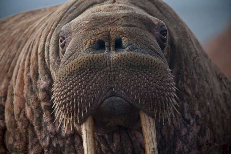 The face of a walrus