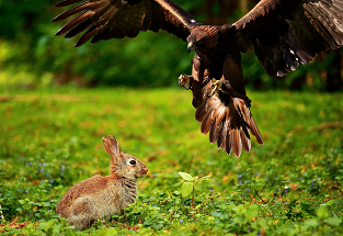 adler_pouncing_on_rabbit_313x215