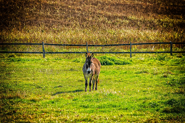 donkey_alone_in_field_375x250