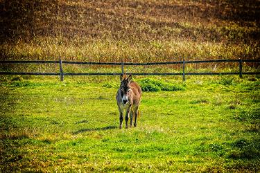 donkey_alone_in_field_375x250