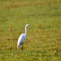 egret_standing_in_field_210x211