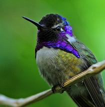 hummingbird_violet_sitting_210x214