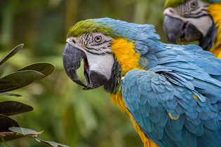macaw_blue_yellow_315x210