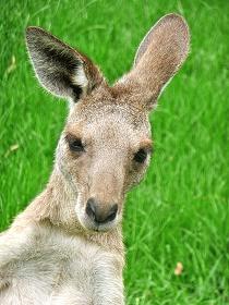 kangaroo_210x280