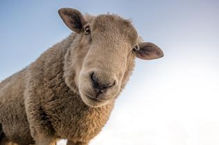 lone_sheep_316x210