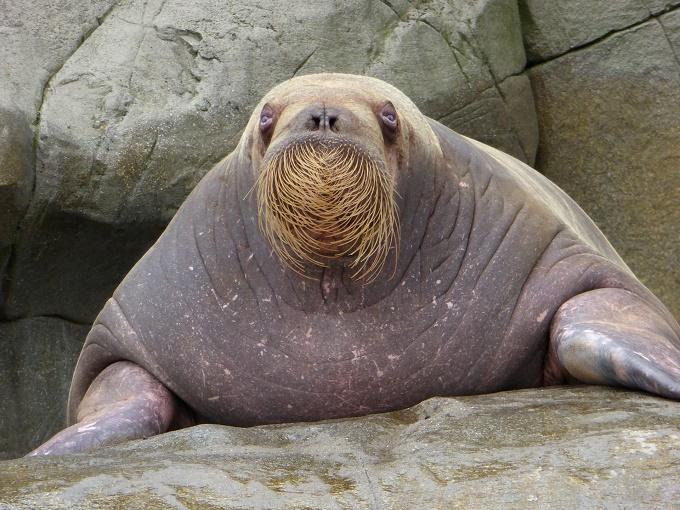 walrus_mustache_rock_680x510