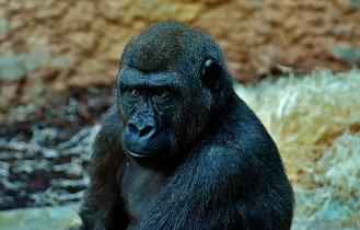 gorilla_skeptical_329x210