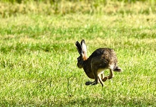 frightened_hare_running_away_322x220