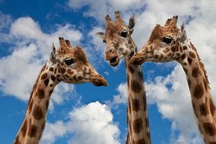 giraffes_315x210