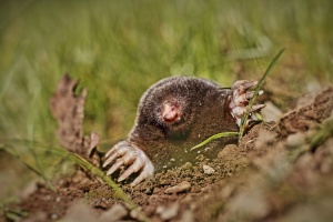 mole_poking_head_out_of_ground_750x500